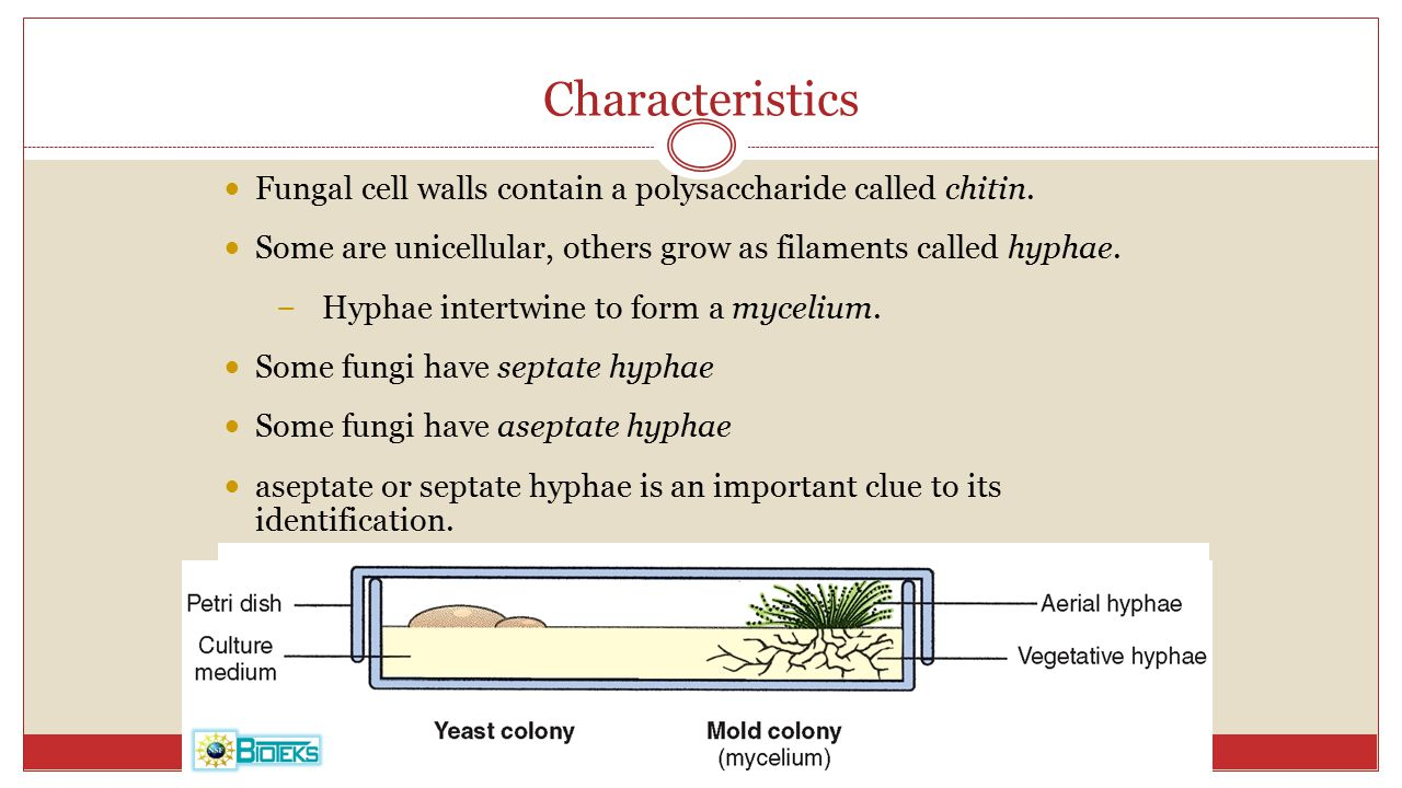 Characteristics Fungal cell walls contain a polysaccharide called chitin. Some are unicellular, others grow as filaments called hyphae.