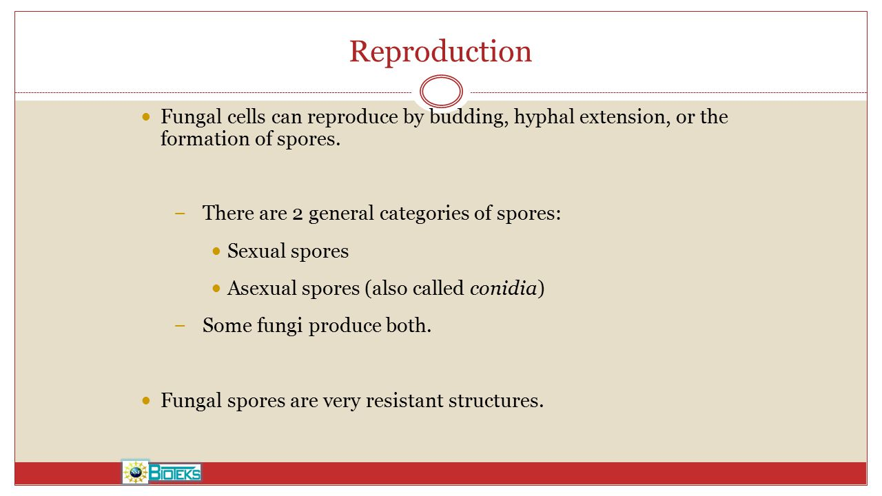 Reproduction Fungal cells can reproduce by budding, hyphal extension, or the formation of spores. There are 2 general categories of spores: