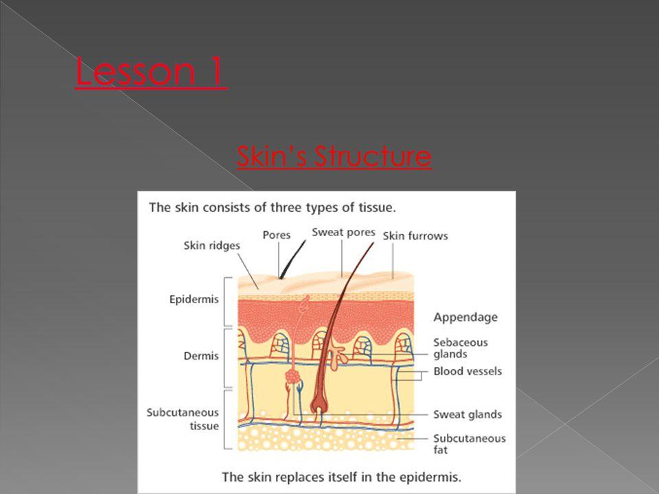 Lesson 1 Skin's Structure