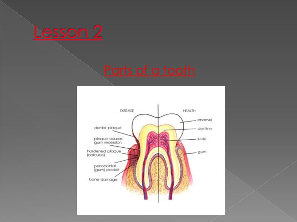 Lesson 2 Parts of a tooth