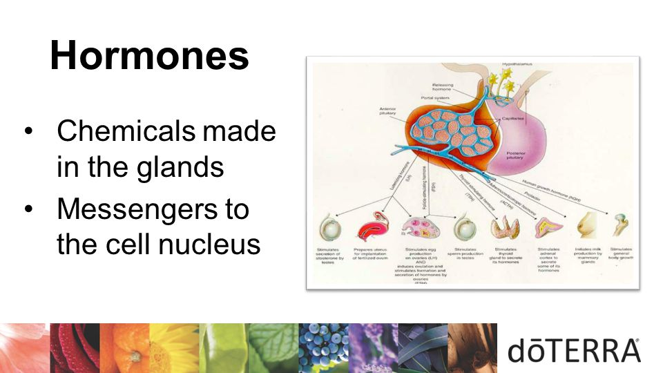Hormones Chemicals made in the glands Messengers to the cell nucleus 