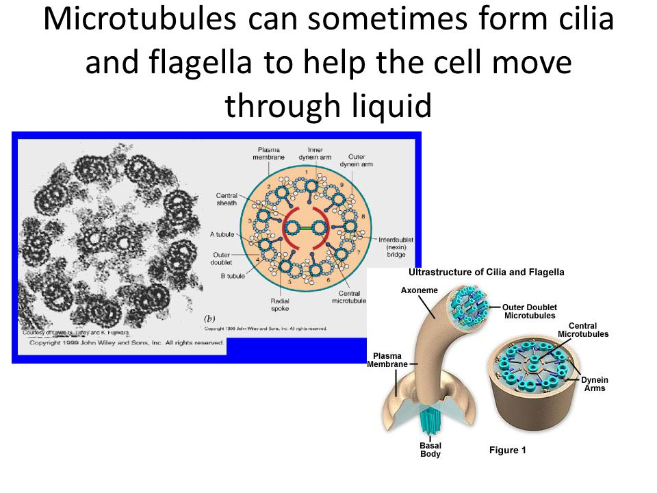 Microtubules can sometimes form cilia and flagella to help the cell move through liquid