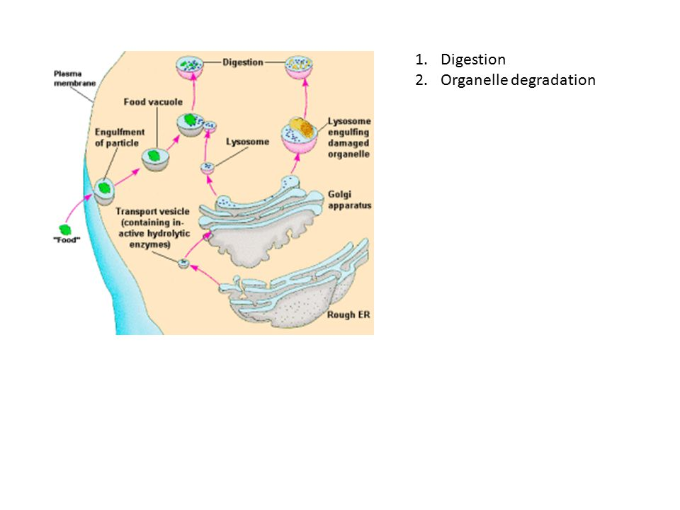 Digestion Organelle degradation
