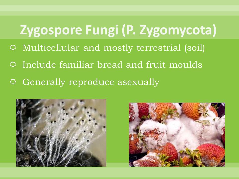 Zygospore Fungi (P. Zygomycota)
