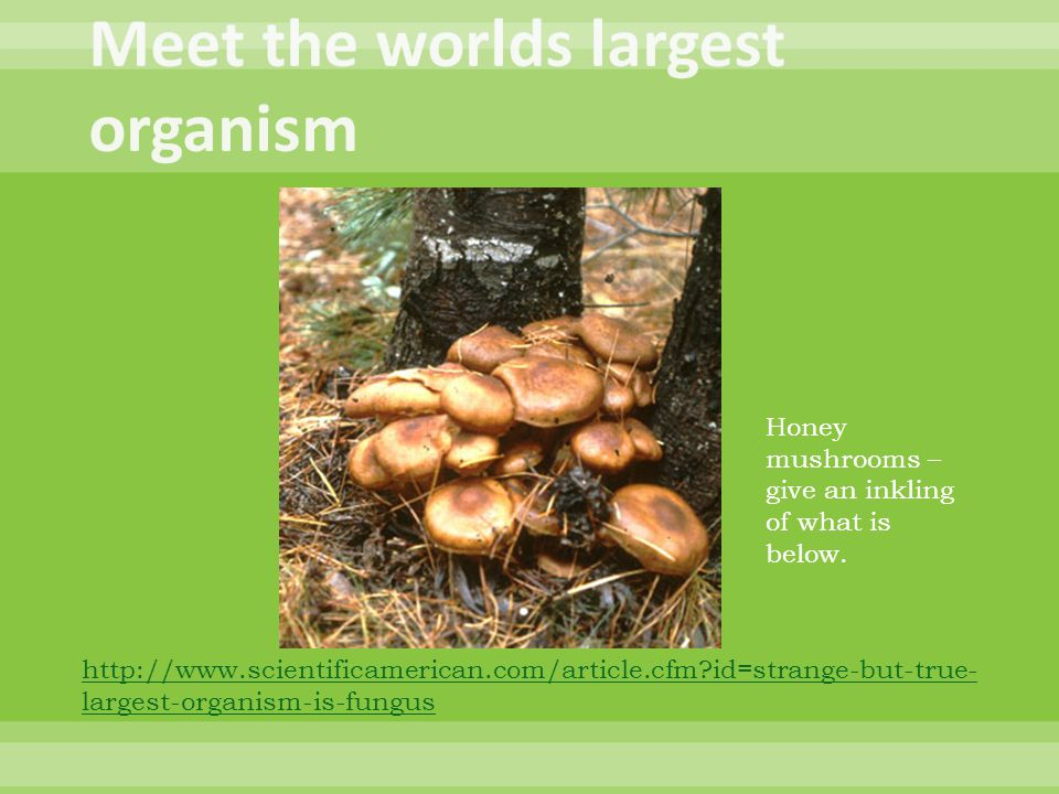 Meet the worlds largest organism