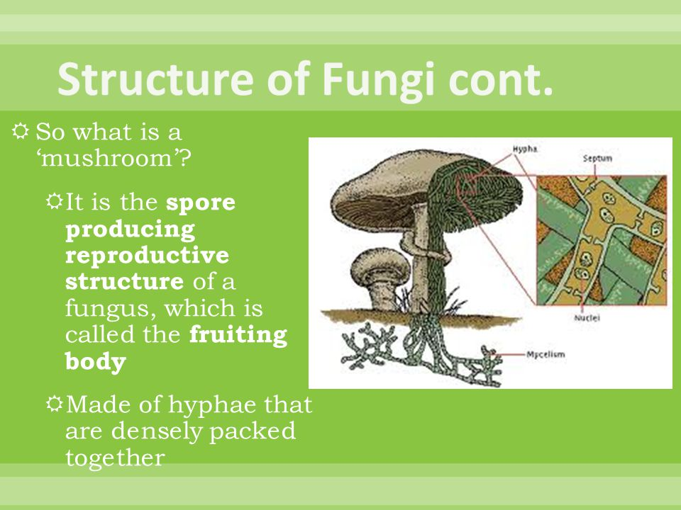 Structure of Fungi cont.