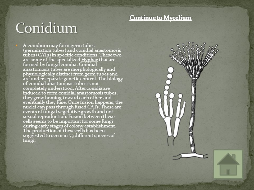Conidium Continue to Mycelium