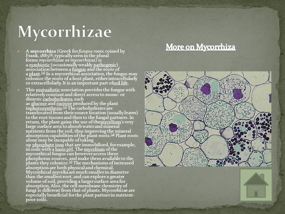 Mycorrhizae More on Mycorrhiza