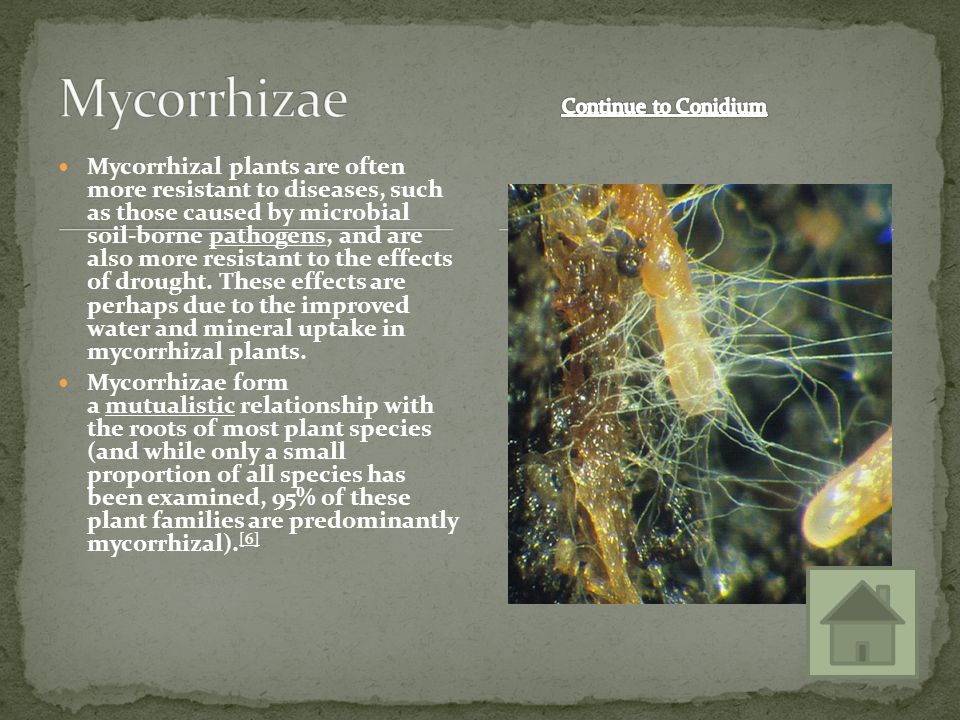 Mycorrhizae Continue to Conidium.