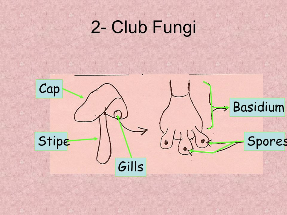 2- Club Fungi Cap Basidium Stipe Spores Gills