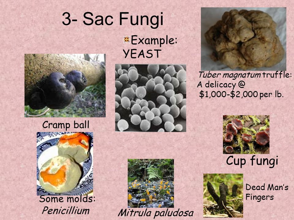 3- Sac Fungi Cup fungi Example: YEAST Cramp ball Some molds: