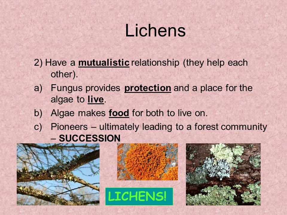 Lichens 2) Have a mutualistic relationship (they help each other). Fungus provides protection and a place for the algae to live.