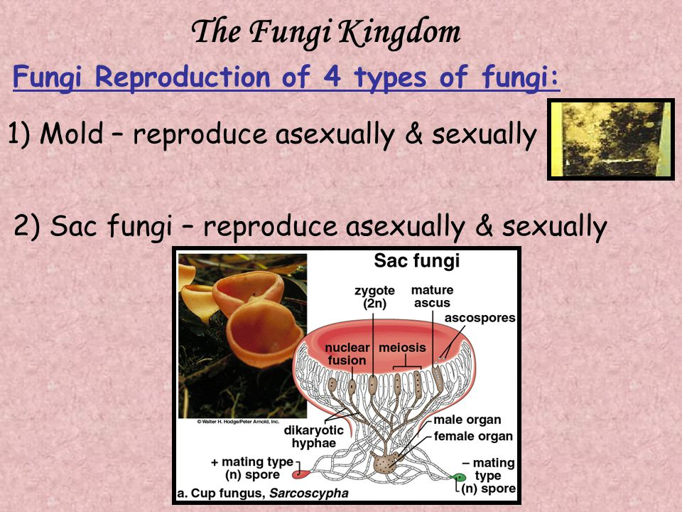 The Fungi Kingdom Fungi Reproduction of 4 types of fungi: