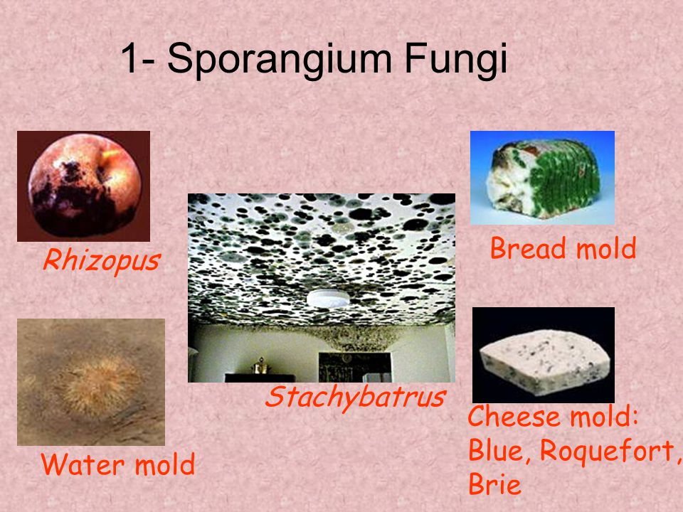 1- Sporangium Fungi Bread mold Rhizopus Stachybatrus Cheese mold: