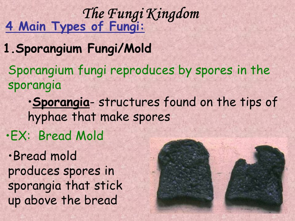 The Fungi Kingdom 4 Main Types of Fungi: 1.Sporangium Fungi/Mold