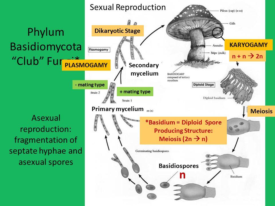 *Basidium = Diploid Spore Producing Structure:
