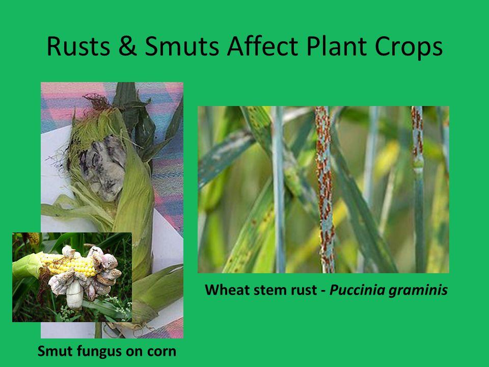 Rusts & Smuts Affect Plant Crops