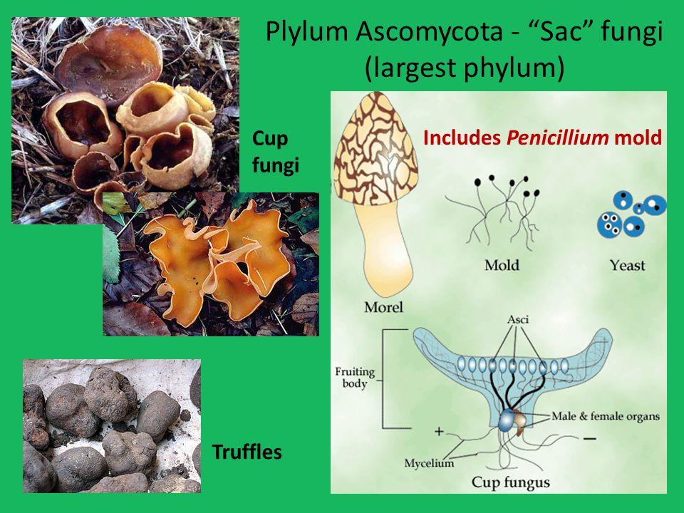 Plylum Ascomycota - Sac fungi (largest phylum)