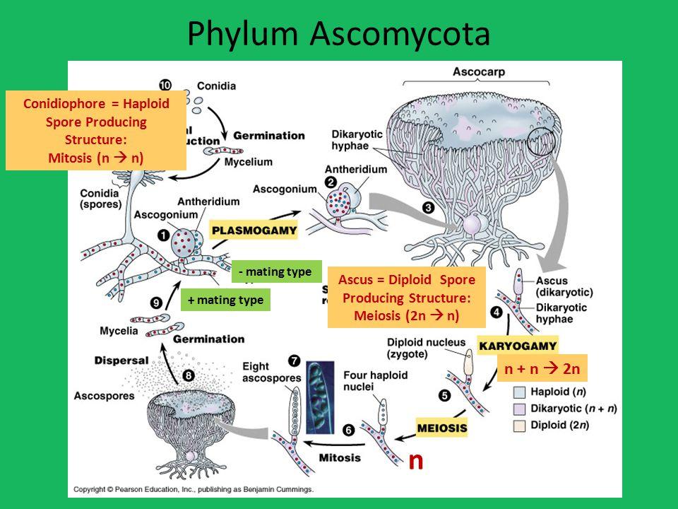Phylum Ascomycota n n + n  2n