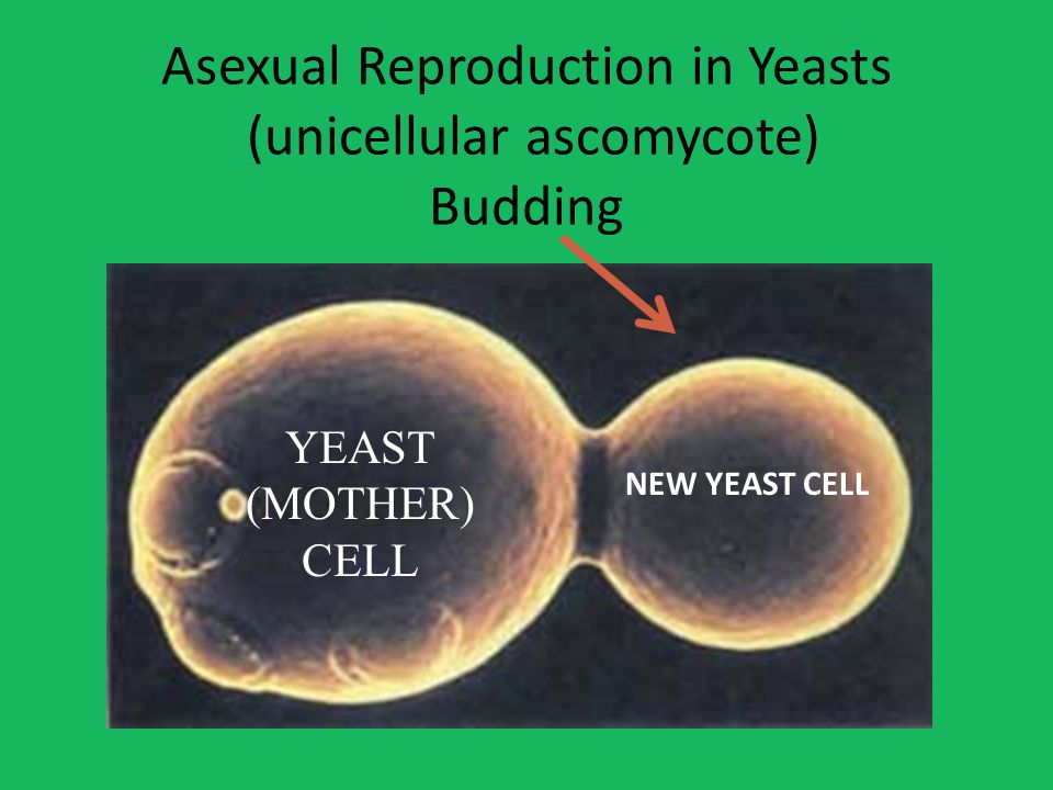 Asexual Reproduction in Yeasts (unicellular ascomycote) Budding