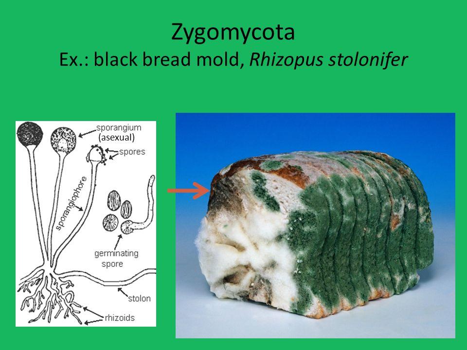 Zygomycota Ex.: black bread mold, Rhizopus stolonifer