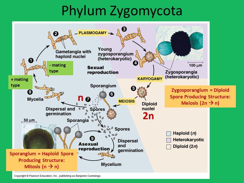 Phylum Zygomycota - mating type. + mating type. Zygosporangium = Diploid Spore Producing Structure:
