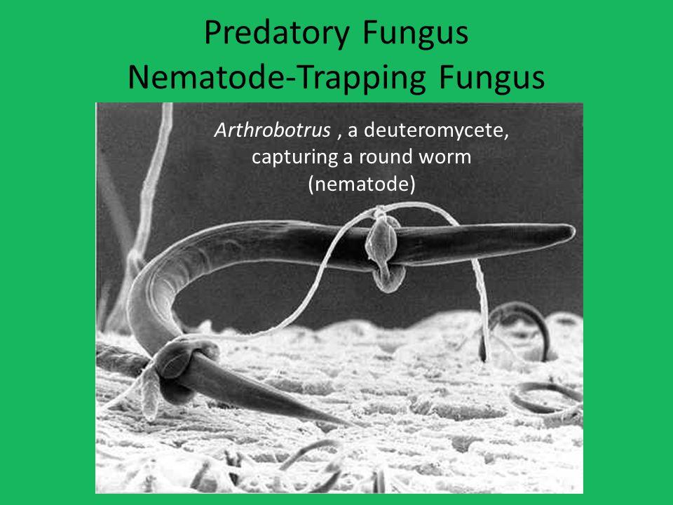 Predatory Fungus Nematode-Trapping Fungus