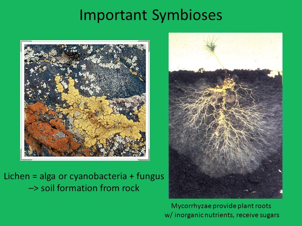 Important Symbioses Lichen = alga or cyanobacteria + fungus