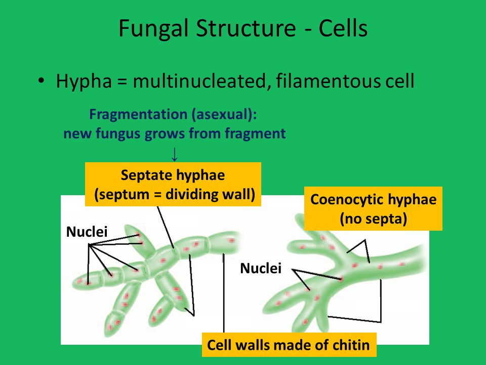 Fungal Structure - Cells