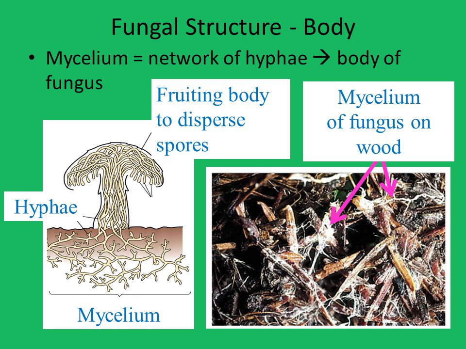Fungal Structure - Body