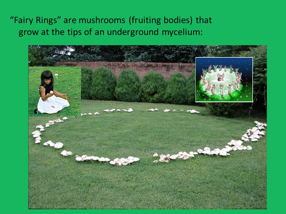 Fairy Rings are mushrooms (fruiting bodies) that grow at the tips of an underground mycelium: