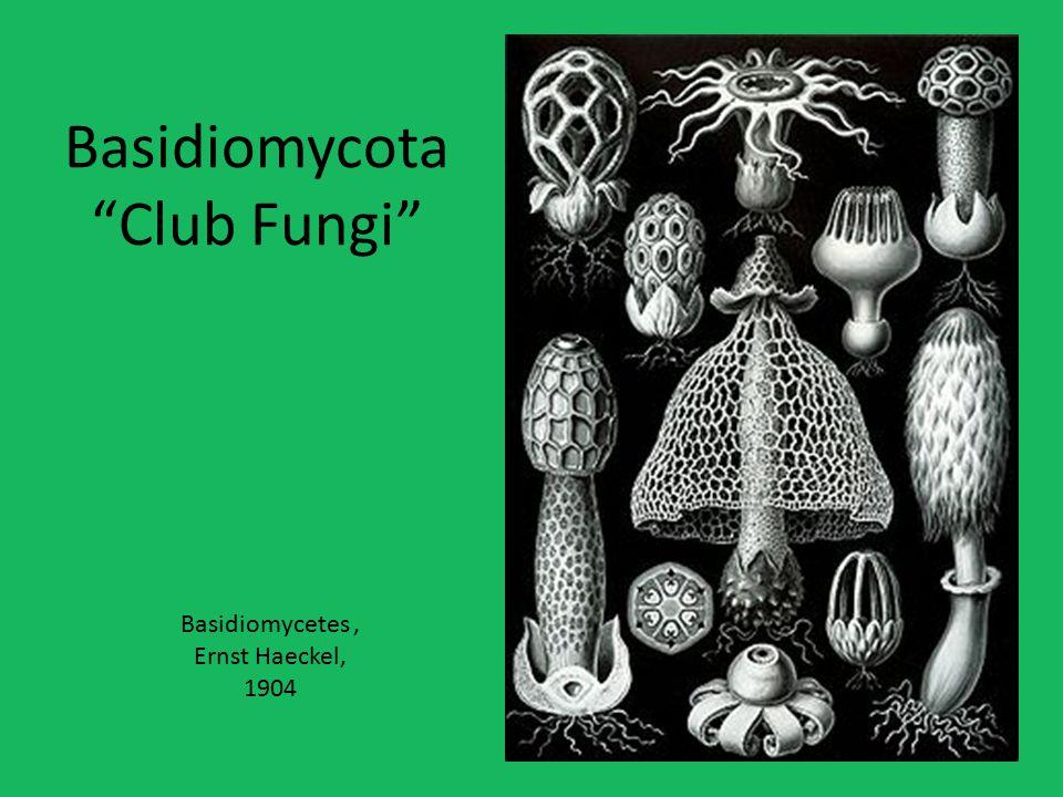 Basidiomycota Club Fungi
