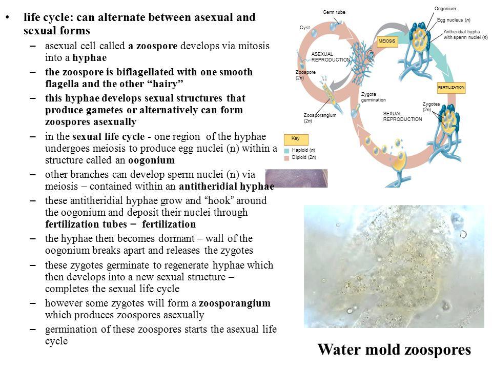 Egg nucleus (n) MEIOSIS. FERTILIZATION. Haploid (n) Key. Diploid (2n) Oogonium. Antheridial hypha.