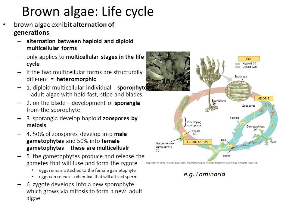 Brown algae: Life cycle