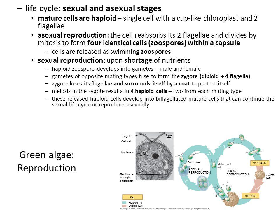 Green algae: Reproduction