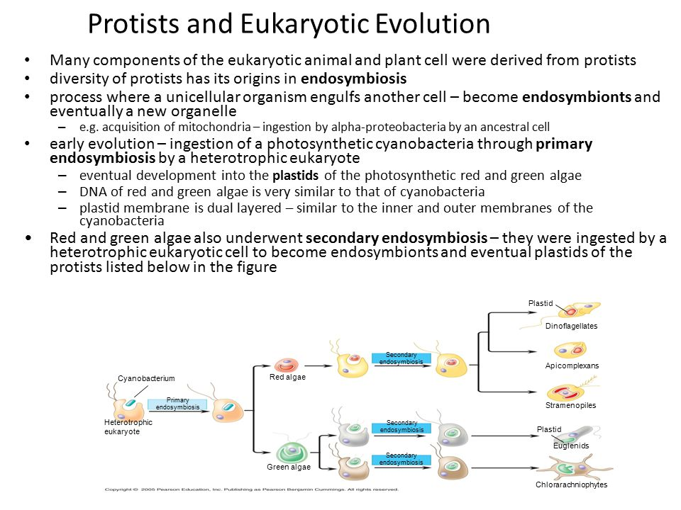 Protists and Eukaryotic Evolution