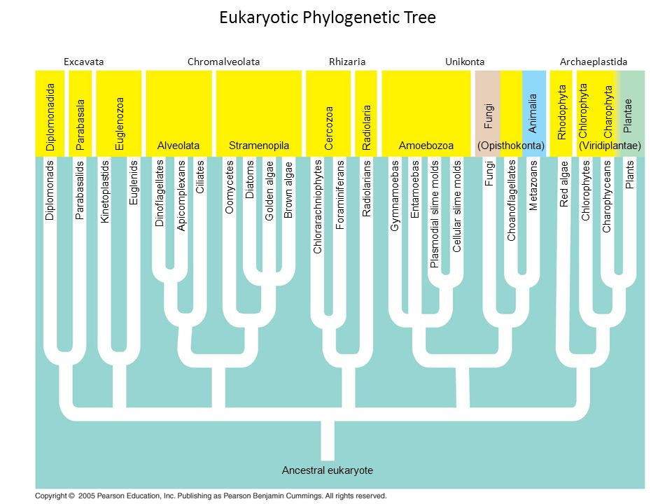 Eukaryotic Phylogenetic Tree