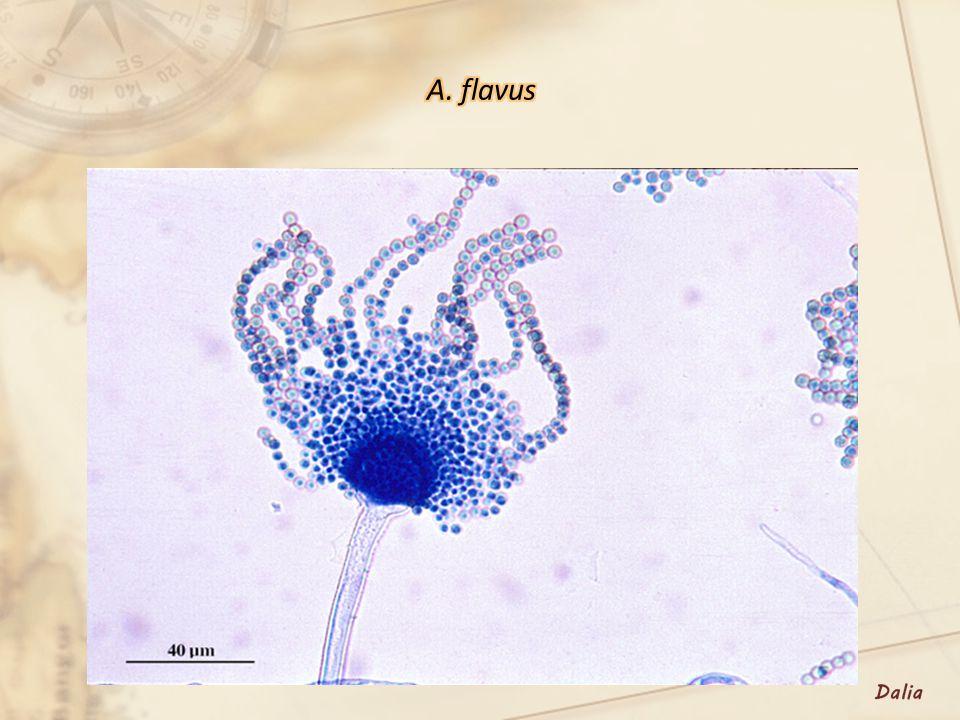 A. flavus