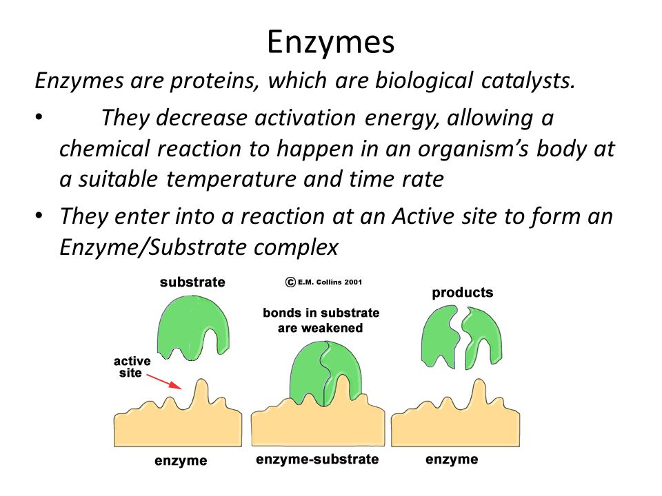 Enzymes Enzymes are proteins, which are biological catalysts.