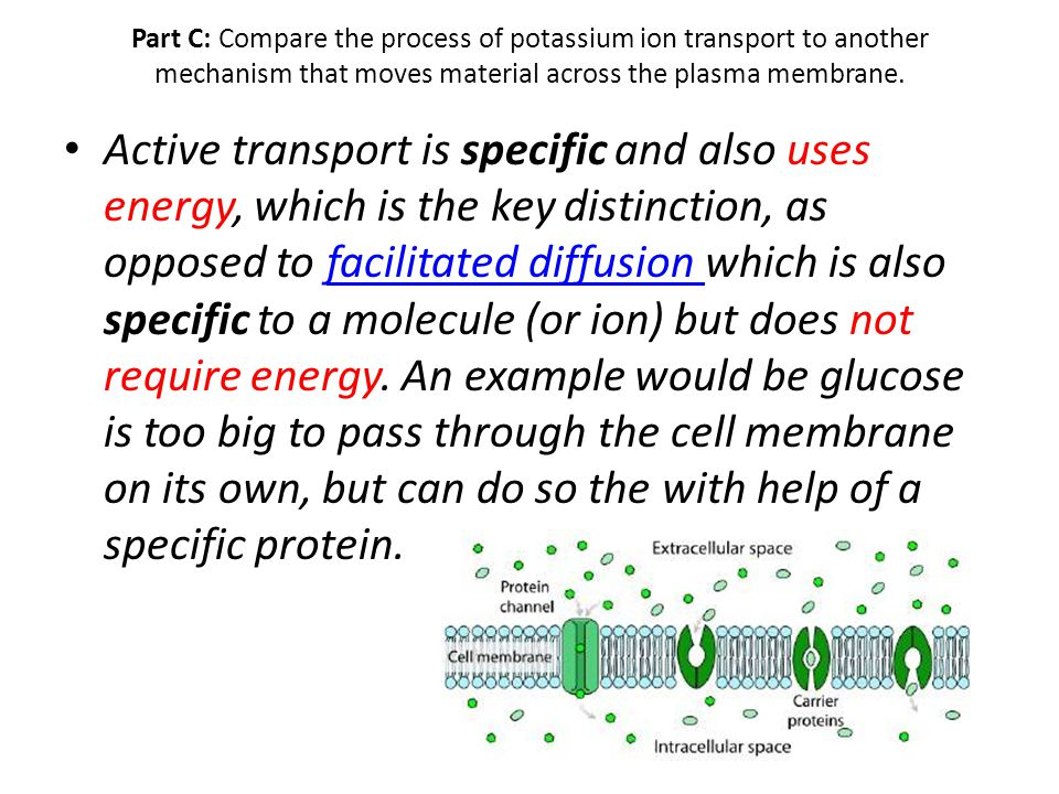 Part C: Compare the process of potassium ion transport to another mechanism that moves material across the plasma membrane.