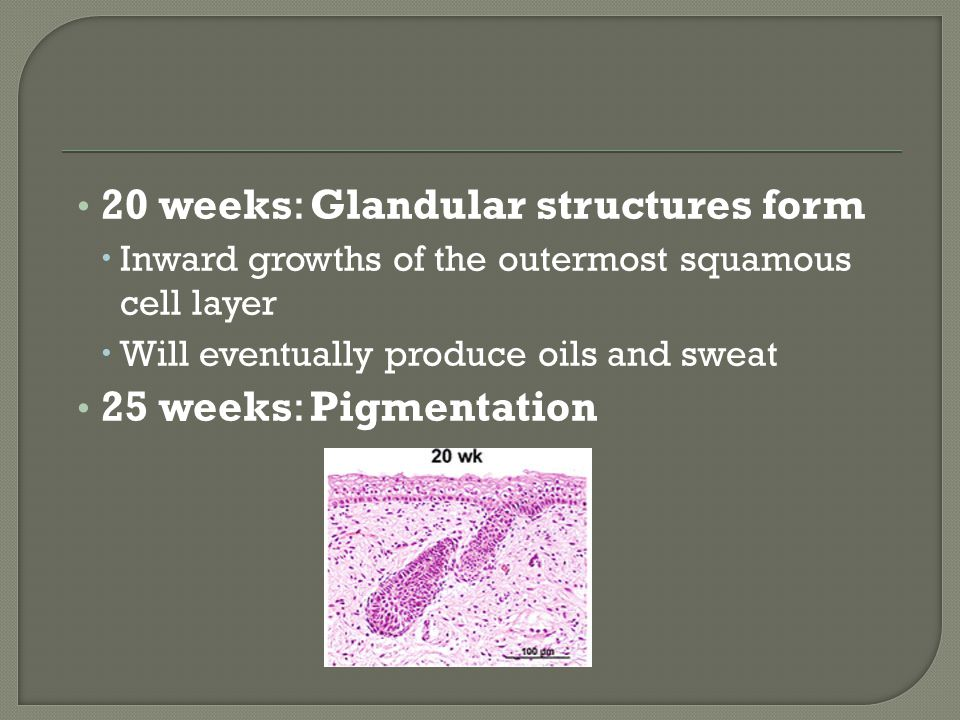 20 weeks: Glandular structures form