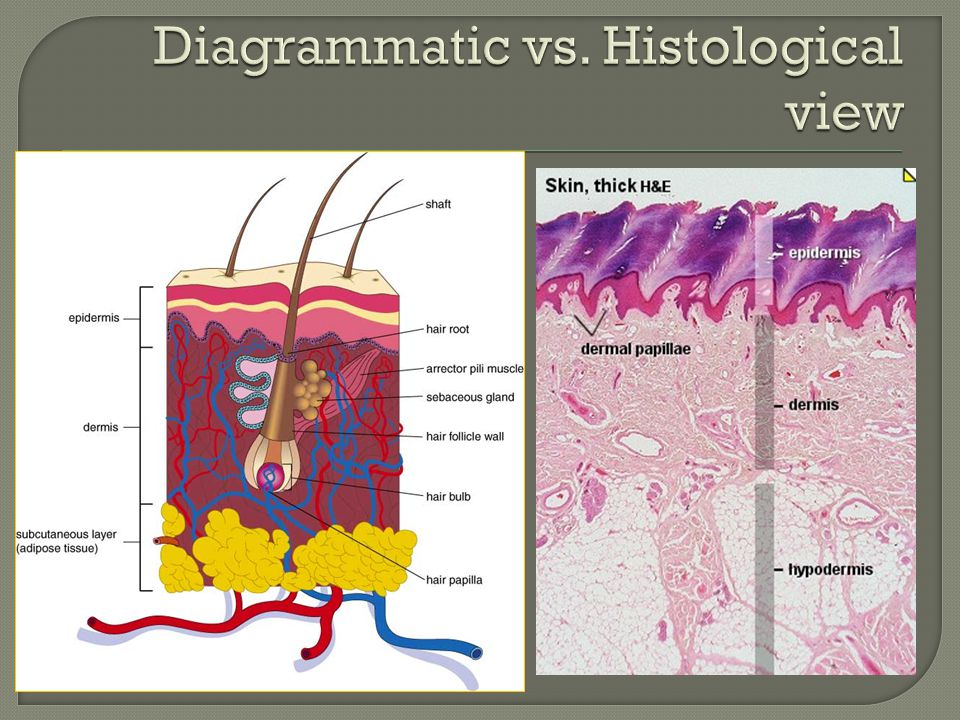 Diagrammatic vs. Histological view