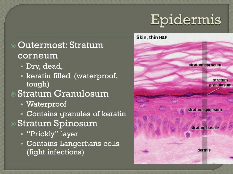 Epidermis Outermost: Stratum corneum Stratum Granulosum