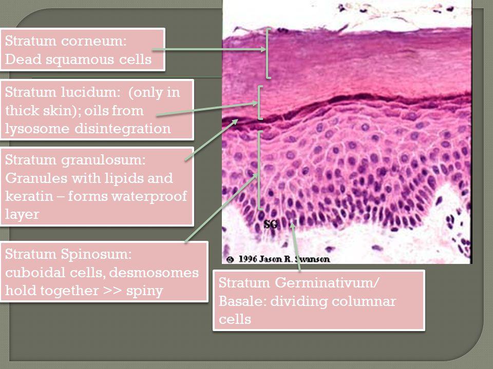 Stratum corneum: Dead squamous cells. Stratum lucidum: (only in thick skin); oils from lysosome disintegration.