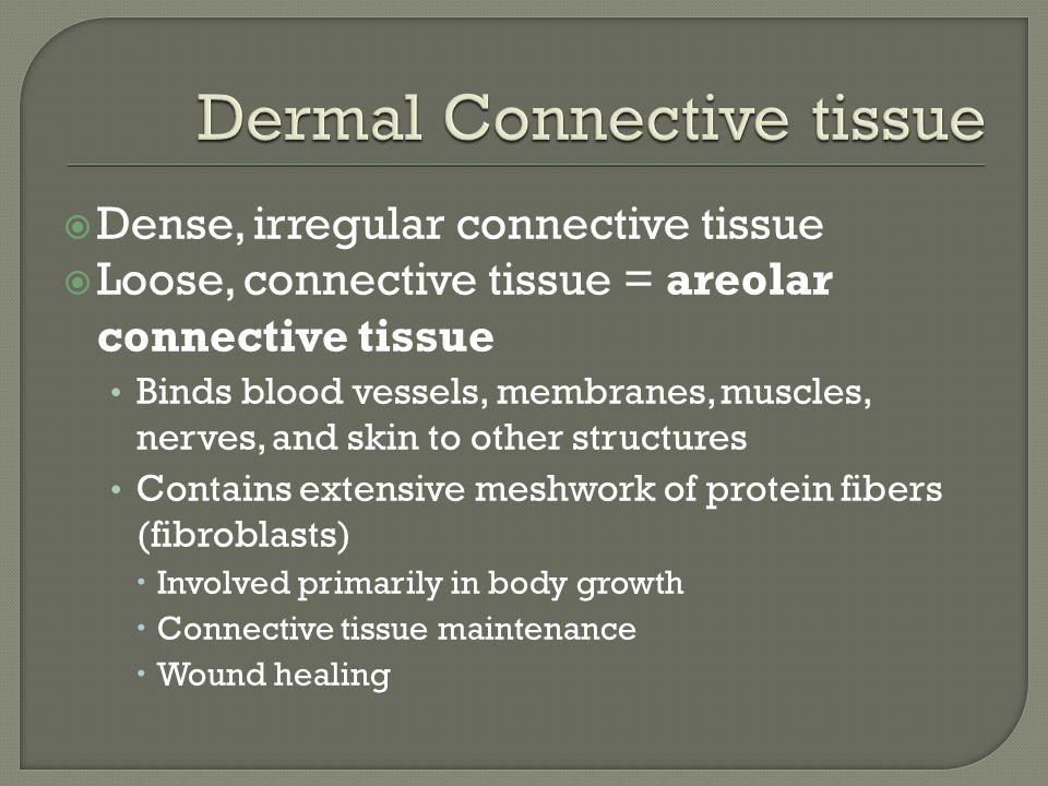Dermal Connective tissue