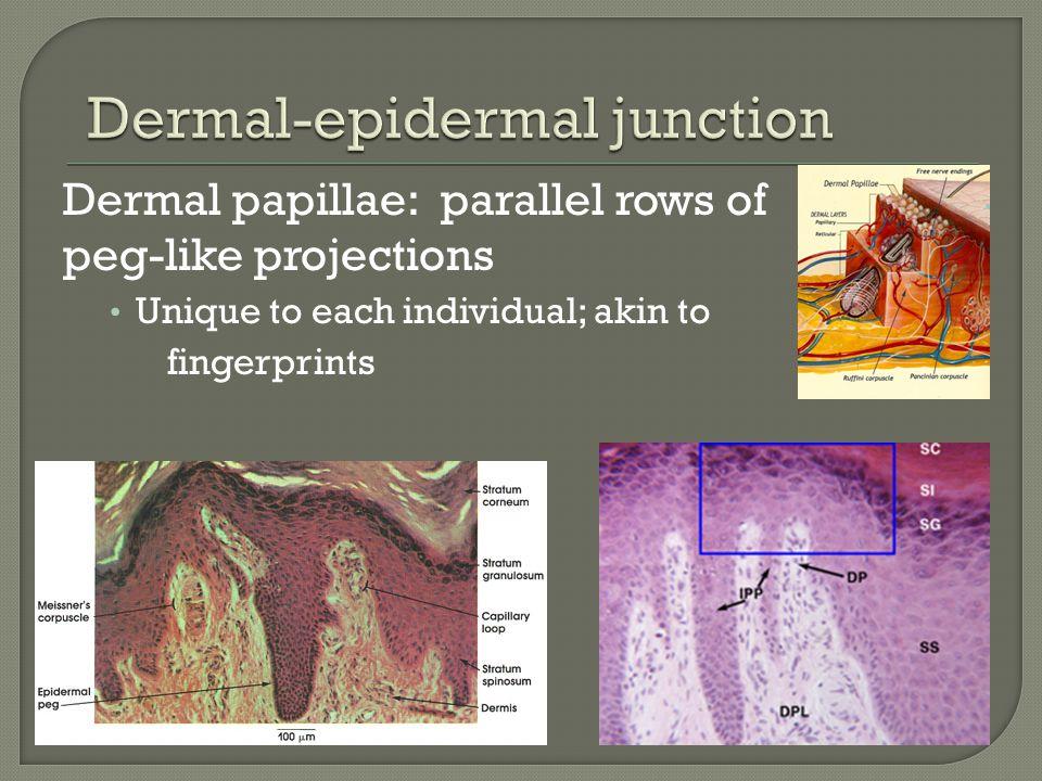 Dermal-epidermal junction