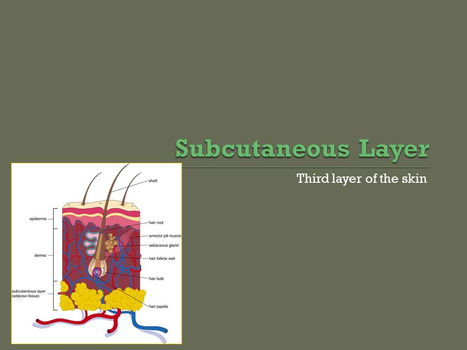 Subcutaneous Layer Third layer of the skin