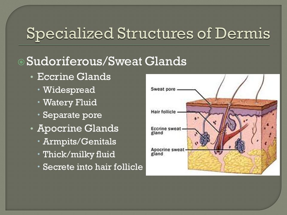 Specialized Structures of Dermis
