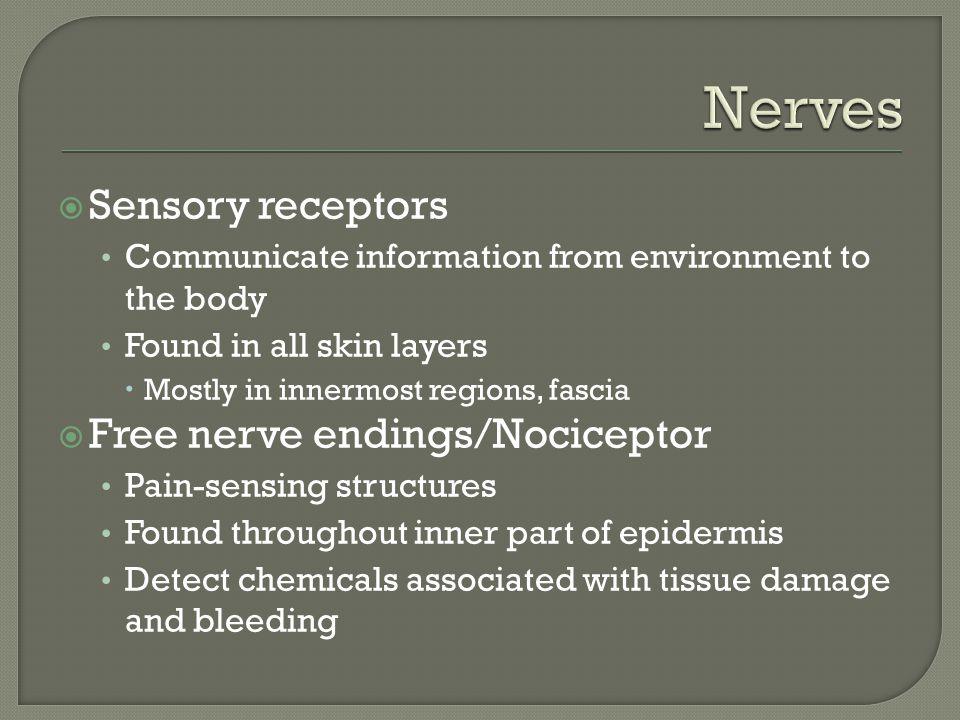 Nerves Sensory receptors Free nerve endings/Nociceptor