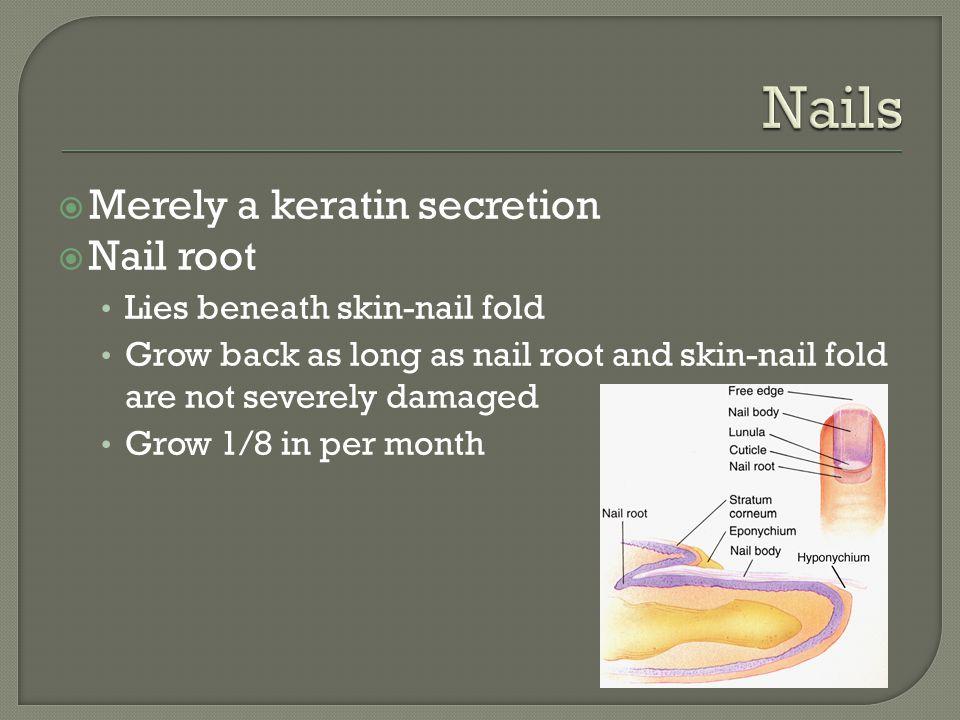 Nails Merely a keratin secretion Nail root Lies beneath skin-nail fold
